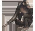 Imagen Chimpancé