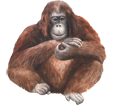 Imagen Orangután
