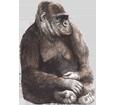 Imagen Gorila